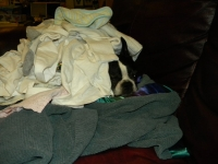 Boston terrier hiding in the laundry