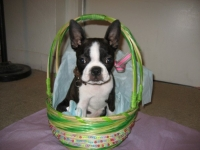 Boston terrier in Easter basket