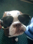 Boston terrier wearing sunglasses