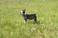 Boston terrier in field