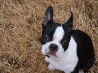 Boston terrier puppy face