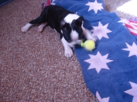 Boston Terrier playing with ball.
