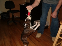 Boston terrier tug of war!