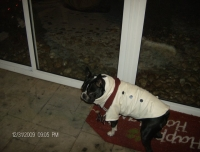 Boston terrier wearing a coat