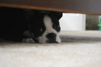 Boston terrier under table