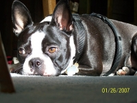 Boston terrier relaxing!