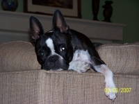 Boston terrier on the couch