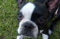 Boston terrier close up