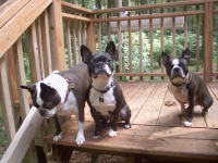 Three Boston Terriers