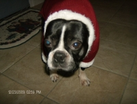 Boston terrier santa suit