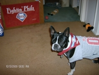 Boston terrier Phillies