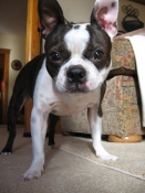 Boston terrier intense