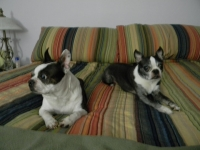 Bostons on the bed