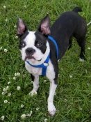 Boston Terrier harness