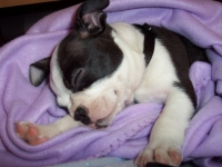 Sleeping Boston Terrier Puppy