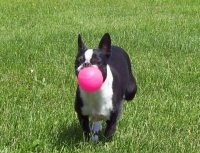 Boston terrier running with ball