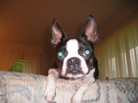 Curious Boston terrier