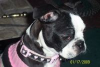 Boston terrier pink collar