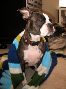 Boston terrier and scarf