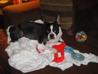 Boston terrier with toys