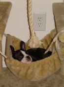 Boston terrier hammock