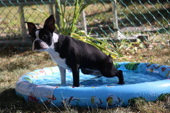 House Training Boston Terrier Secrets