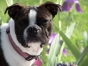 Boston terrier with pink collar