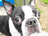 Boston terrier face