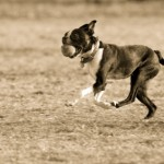 boston terrier running
