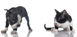 Boston terrier puppy and kitten