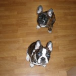Cute french bull dogs!