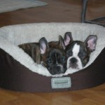 French bull dogs snuggling!