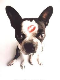 boston terrier kiss