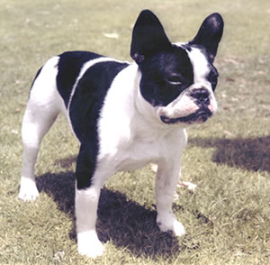 French Terrier