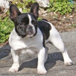 french-bull-dog-3