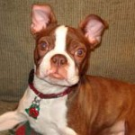 red-boston-terrier-2