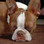 red-boston-terrier-3