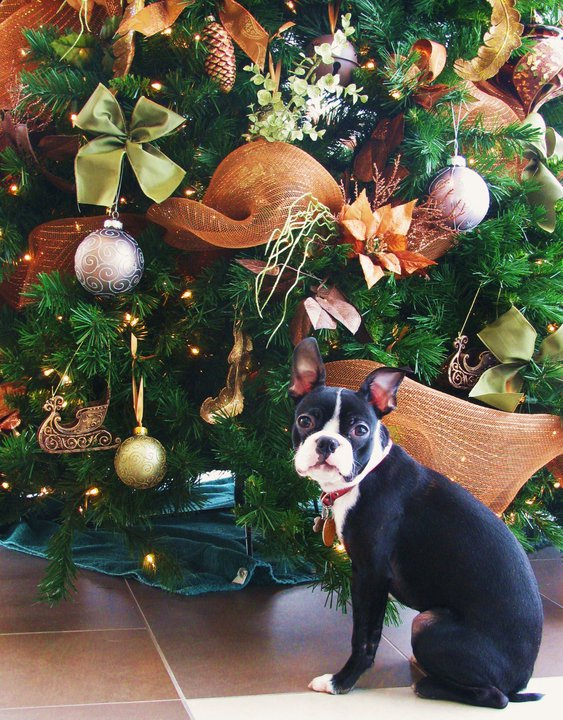 boston terrier christmas photo