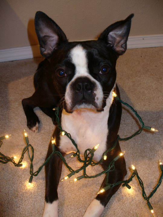 boston terrier and christmas lights