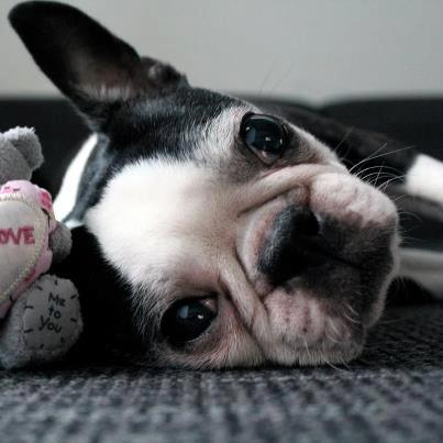 Training Your Boston Terrier to Listen to You