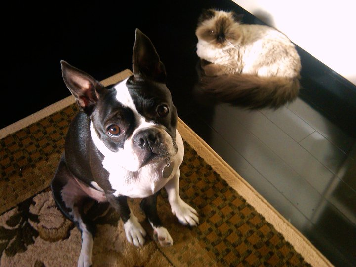boston terrier and cats boston terrier pictures boston terrier secrets 8077