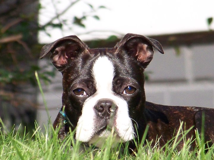boston terrier dog names top 10 boston terrier names boston terrier secrets 1719