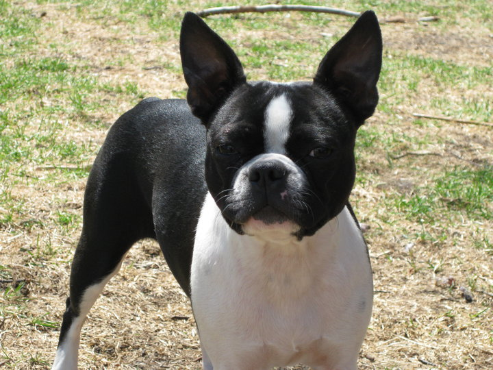 boston terrier potty training is your boston terrier potty trained enough boston 2669